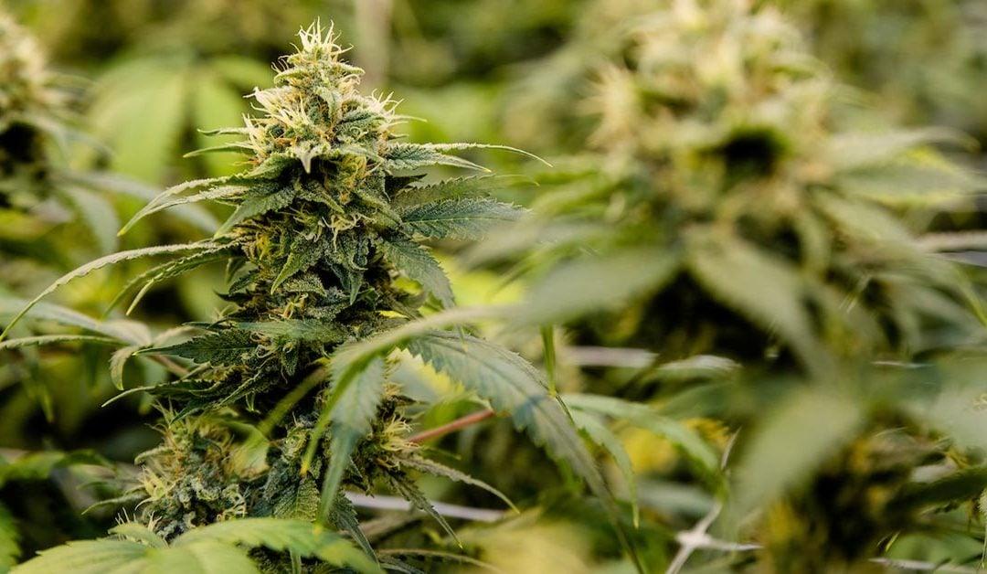 Issued Permit to Grow Medical Marijuana